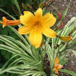 Hemerocallis Golden Zebra