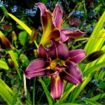 Hemerocallis Jockey Club