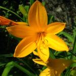 Hemerocallis middendorfii