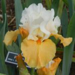 Iris germanica Pumpkin Cheesecake
