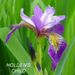 Iris pseudacorus Holdens Child