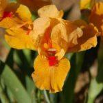 Iris pumila Orange Caper1