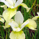 Iris sibirica Butter and Sugar