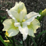 Iris sibirica Moonsilk