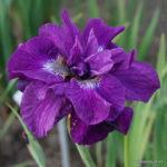 Iris sibirica Tumble Bug