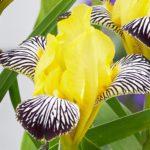 Iris versocolor Golden Zebra