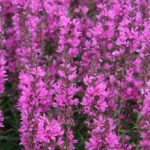Lythrum salicaria Lady Sackville