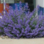 Nepeta faassenii 'Walkers Low'
