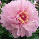 Paeonia Intersectional 'First Arrival'