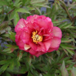 Paeonia Intersectional 'Pink Ardour