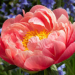 Paeonia hybride Coral Sunset