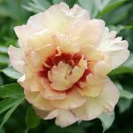 Paeonia intersectional Callies Memory
