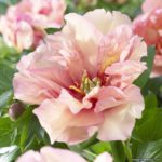 Paeonia intersectional Canary Brilliants