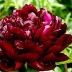 Paeonia lactiflora Armani