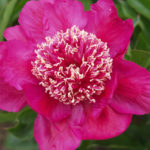 Paeonia lactiflora Barrington Belle