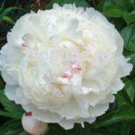 Paeonia lactiflora Boule de Neige