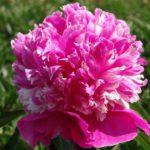 Paeonia lactiflora Celebrity
