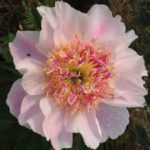 Paeonia lactiflora Do Tell