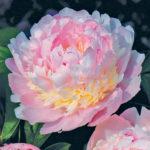 Paeonia lactiflora Eden's Parfume