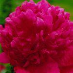 Paeonia lactiflora General Mac Mahon