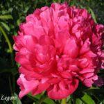 Paeonia lactiflora Mary Jo Legare