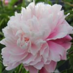 Paeonia lactiflora Morning Kiss