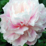 Paeonia lactiflora Morning Kiss1