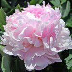 Paeonia lactiflora Pink Giant