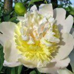 Paeonia lactiflora Primevere