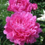 Paeonia lactiflora Princess Margaret