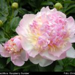 Paeonia lactiflora Raspberry Sundae