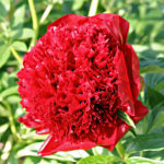 Paeonia lactiflora Red Charm