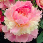 Paeonia lactiflora Sorbet