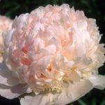 Paeonia lactiflora Sweet Sixteen