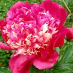 Paeonia lactiflora Tom Cat