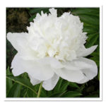 Paeonia lactiflora White Towers