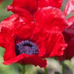 Papaver nudicaule Beauty of Livermer