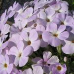 Phlox douglasii Lilac Cloud