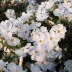Phlox douglassii White Admiral