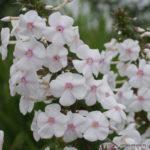 Phlox maculata Delta