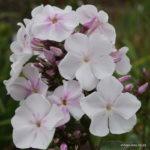 Phlox paniculata Anne