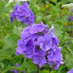 Phlox paniculata Blue Paradise1