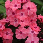 Phlox paniculata Sweet Dreams
