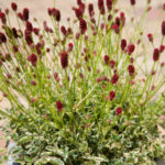 Sanguisorba minor 'Little Angel'