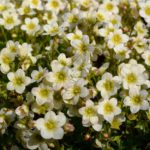 Saxifraga arendsii 'Alpino Early Lime'
