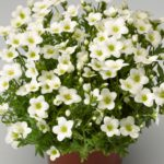 Saxifraga arendsii 'Alpino Early White'